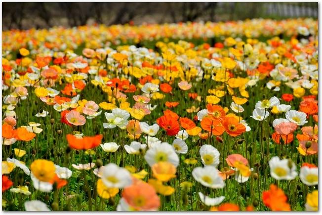 武蔵丘陵森林公園のポピーの花畑の様子